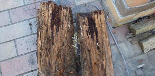 ヤマトシロアリによる食害を受けた枕木