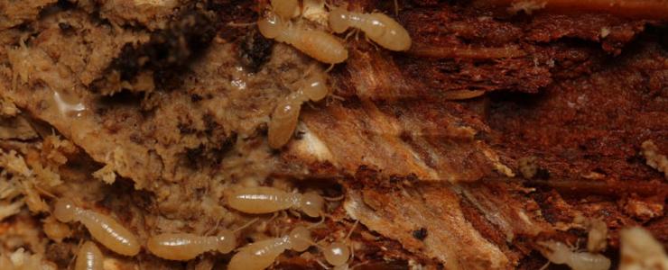 家屋を食べるヤマトシロアリ