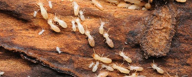 コロニーを形成するシロアリ